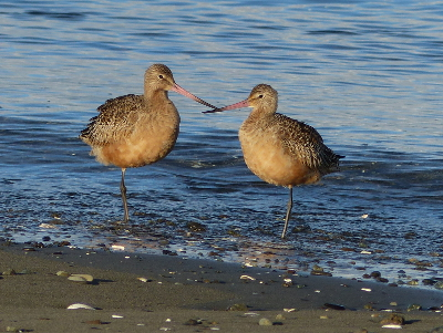 Pair of Marbled Godwits at rest with beaks almost crossed and one leg tucked into their feathers