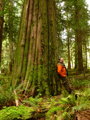 A hiker leans his back against an old-growth Western Cedar tree in a old growth forest