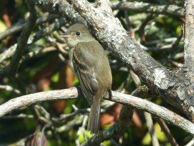 Close up shot of a Willow Flycatcher with its long bill, brown wing markings, and moderate wing projection