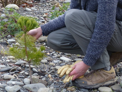 A person gently holds on to a small White Pine tree, which is growing on a rocky surface