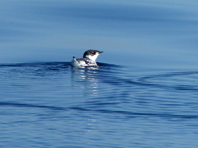 Basic plumage Marbled Murrelet is a small black and white bird with a white collar that sits like a football on the water